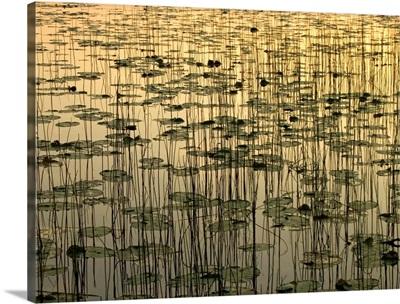 Lilies on Deadman Lake