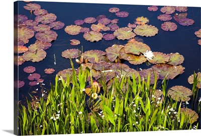 Lily Pads In A Lake Near Dunmanus Bay; County Cork, Ireland