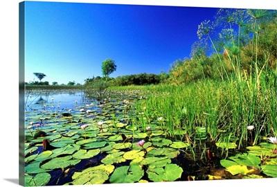 Lily Pads In A River, Okavango Delta