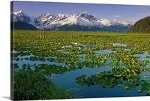 Lily Pads in Bloom on Wetlands Chugach NF SC AK Summer Chugach Mtns