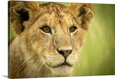 Lion Cub Head And Shoulders, Serengeti National Park, Tanzania