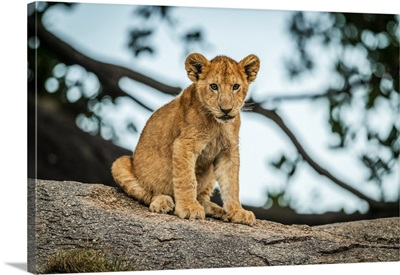 Lion Cub Sits On Rock By Tree, Serengeti, Tanzania