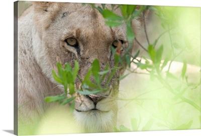 Lioness, Kenya, Africa