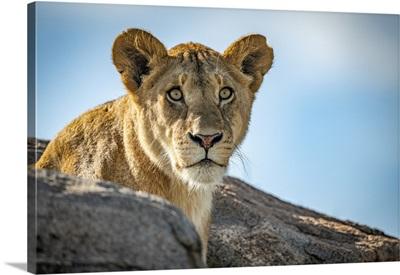 Lioness, Klein's Camp, Serengeti National Park, Tanzania