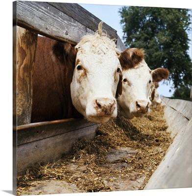 Livestock, Whiteface Hereford beef cattle at feedbunk, Nebraska