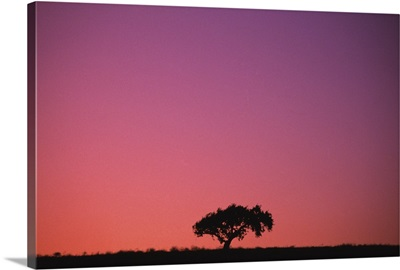 Lone Tree Backlit By Afterglow