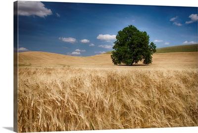 Lone tree in a wheat field, Palouse, Washington, United States of America