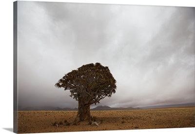 Lonely Quiver Tree In Cloudy Desert, Namibia