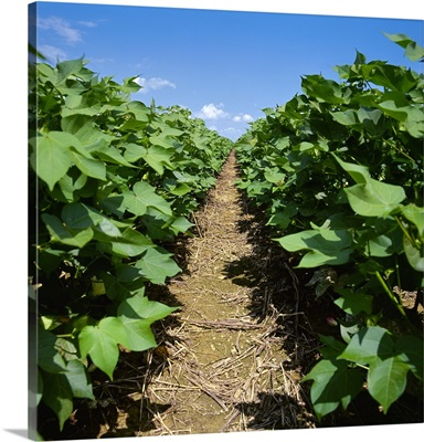 Looking down between two rows of mid growth cotton plants