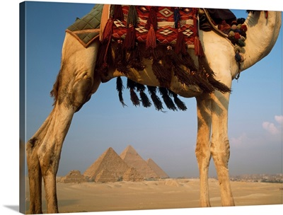 Looking Under Camel To Great Pyramids Of Giza