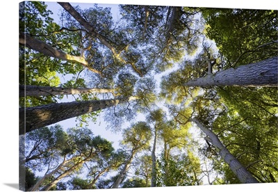 Looking Up At Scots Pine Trees, East Lothian, Scotland