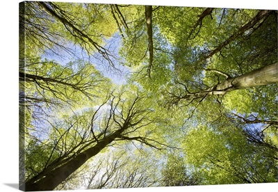 Looking Up At Tree Tops, East Lothian, Scotland