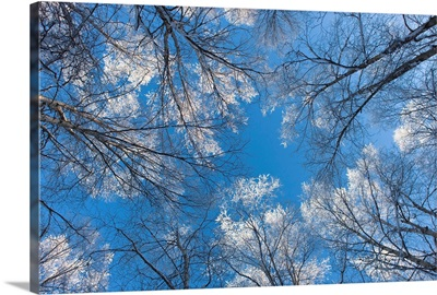 Looking up through hoarfrost covered birch trees in Russian Jack Park, Anchorage, Alaska