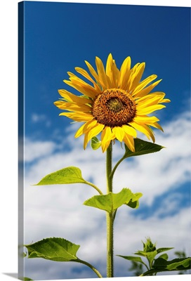 Low angle close up of a sunflower with blue sky and clouds, Alberta, Canada