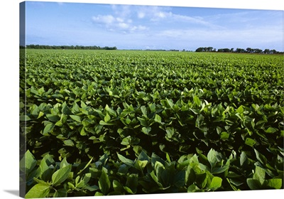Low view of mid growth soybeans near the canopy closure stage, Arkansas