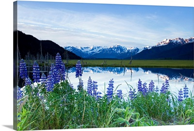 Lupine Blooms Along Pond 20 Mile River Valley AK SC Summer Chugach Mtns