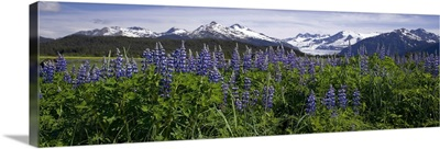 Lupine Blooms In The Wetlands Near Mendenhall Glacier, Southeast Alaska