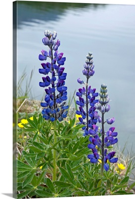 Lupine flowers, Southwest Alaska, Summer