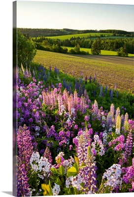 Lupins And Phlox Flowers, Clinton, Prince Edward Island, Canada