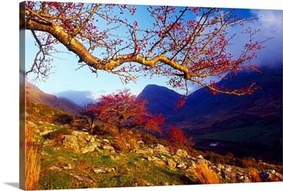 Macgillycuddy's Reeks, County Kerry, Ireland; Rowan Tree