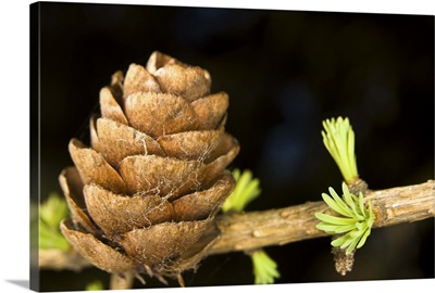 Macro of Larch needles and cone during Spring Anchorage Alaska