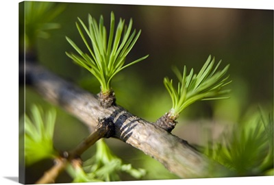 Macro of Larch needles emerging during Spring Anchorage Alaska