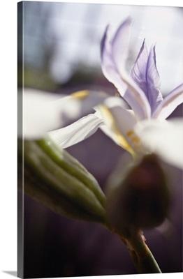 Macro Of White Iris Blossom