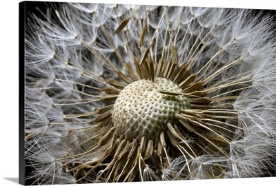Macro view of a Dandilion flower gone to seed Alaska