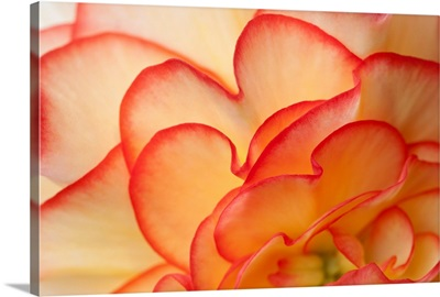 Macro view of Begonia Petals Girdwood Southcentral Alaska Summer
