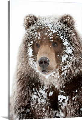 Male Brown bear with a frosty face lying on snow, Alaska Wildlife Conservation Center
