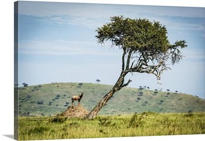Male Topi On Termite Mound Near Tree, Klein's Camp, Serengeti National Park, Tanzania