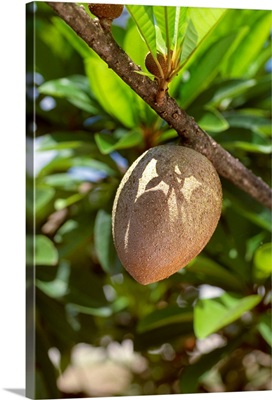 Mamey Sapote on the tree, a tropical fruit, Florida