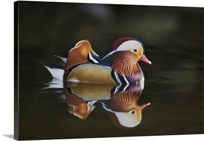 Mandarin Duck (Aix Galericulata) Male Swimming On A Lake, Bavaria, Germany