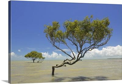 Mangrove Tree In Sea, Clairview, Isaac Region, Queensland, Australia