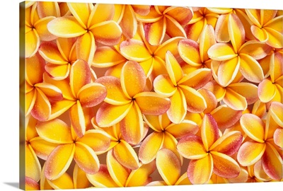 Many Red And Yellow Plumeria Flowers Spread Overlapping