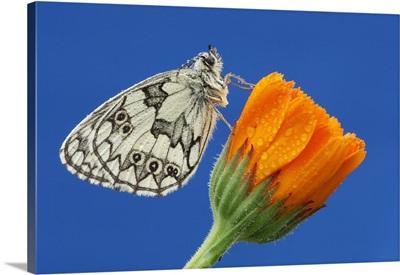 Marbled White (Melanargia Galathea) Perched On Orange Flower In Bavaria, Germany