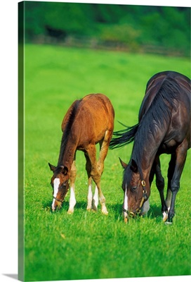 Mare And Foal Thoroughbred Horses