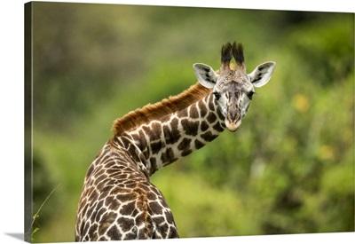 Masai Giraffe Calf Twisting Neck, Klein's Camp, Serengeti National Park, Tanzania