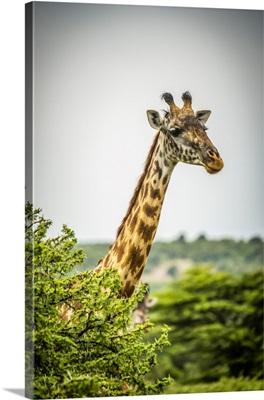 Masai Giraffe, Cottars 1920s Safari Camp, Maasai Mara National Reserve, Kenya
