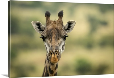 Masai Giraffe Head In Savannah, Serengeti National Park, Tanzania