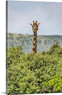 Masai Giraffe Peeks Over Bushes In Savannah, Serengeti National Park, Tanzania