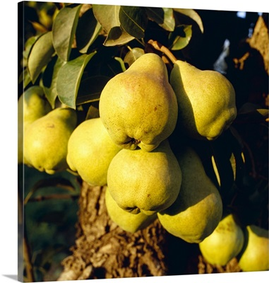 Mature Bartlett pears on the tree in late afternoon light, Brentwood, California