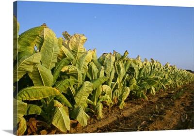 Mature Burley tobacco, Kentucky