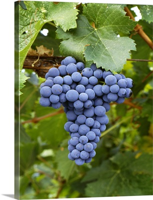 Mature Cabernet Franc wine grape cluster on the vine, Sonoma County, California