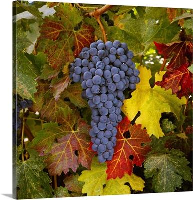 Mature Cabernet Sauvignon wine grapes on the vine, ready for the harvest