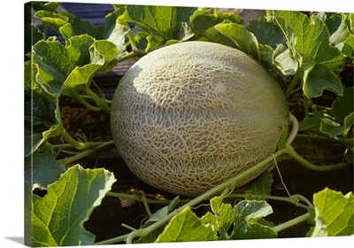 Mature cantaloupe in the field, ready for harvest, Florida