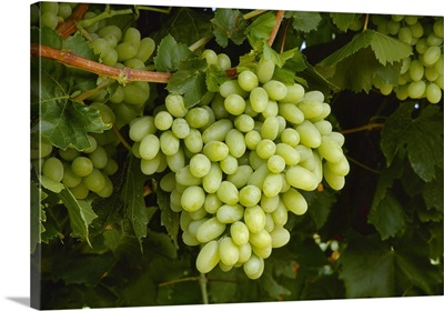 Mature cluster of Thompson Seedless table grapes on the vine, ready for harvest