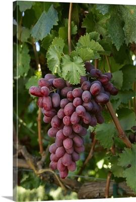 Mature Crimson Seedless table grapes on the vine, San Joaquin Valley, California