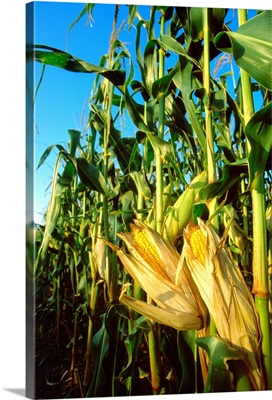 Mature ears of grain corn on the stalks with their husks slightly open