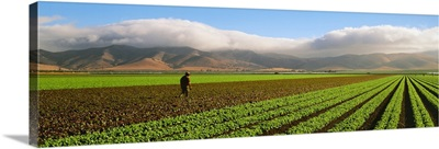 Mature field of alternating Green and Red Leaf lettuce, with the Coastal mountains